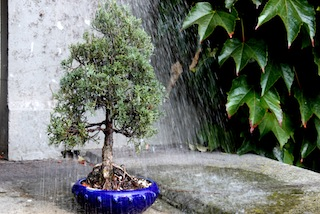 Watering a Bonsai