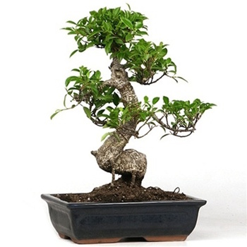care guide for the fig ficus bonsai tree ficus retusa ginseng bonsai empire. Black Bedroom Furniture Sets. Home Design Ideas