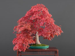 Acer palmatum, var. 'Deshôjô (Tunb.), Hiroshi Takeyama Nursery, Japan, in the Luis Vallejo bonsai collection since 1991