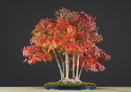 Acer palmatum (Tunb.), Hotsumi Terakawa, Japan, in the Luis Vallejo bonsai collection since 1989