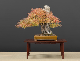 Acer buergerianum (Miq.), Hiroshi Takeyama, Japan, in the Luis Vallejo bonsai collection since 1991