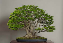Shishigashira (Japanese Maple), in April, photo by the Omiya Bonsai Art Museum.