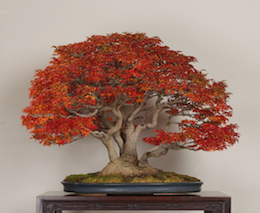 Shishigashira (Japanese Maple), in November, photo by the Omiya Bonsai Art Museum.