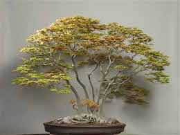Yamamomiji (Japanese Maple), photo by the Omiya Bonsai Art Museum.