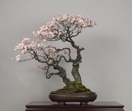 Omoi-no-mama (Japanese Apricot), photo by the Omiya Bonsai Art Museum.