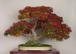 Yamamomiji (Japanese Maple), photo by the Omiya Bonsai Art Museum.