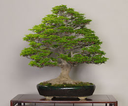 Shishigashira (Japanese Maple), photo by the Omiya Bonsai Art Museum.