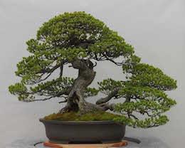 Goyo-matsu (Japanese Five Needle Pine), photo by the Omiya Bonsai Art Museum.