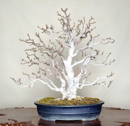 Himeringo (Chinese Crab Apple), photo by the Omiya Bonsai Art Museum.