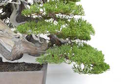 Juniper Bonsai tree, photo by Bjorn Bjorholm