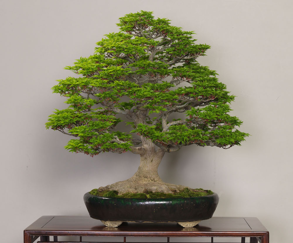 shishigashira japanese maple photo by the omiya bonsai art museum bonsai tree