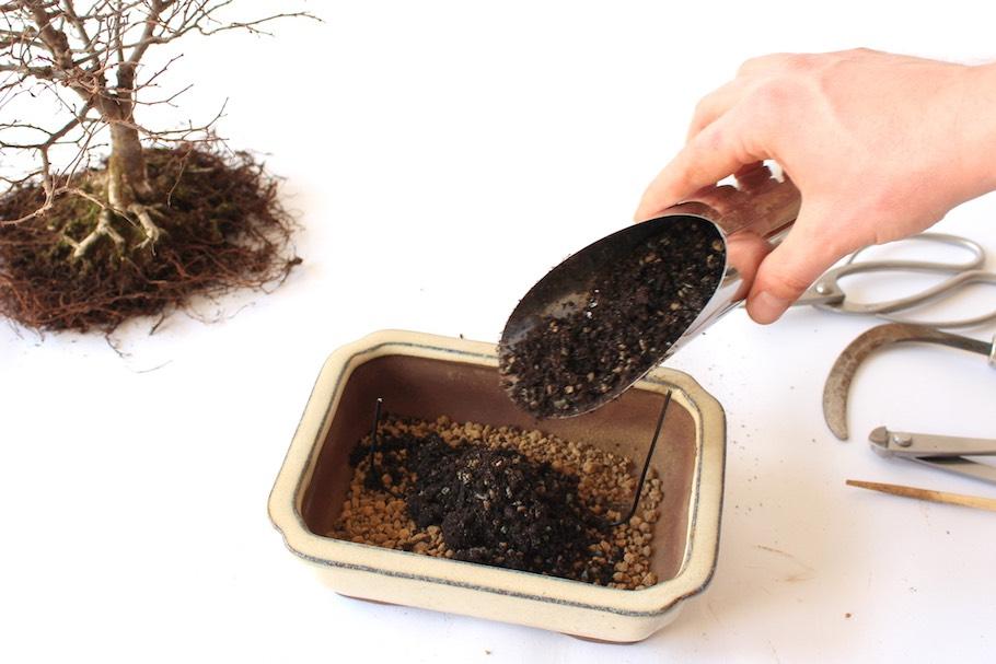 Как вырастить бонсай из семян китая в домашних условиях 973
