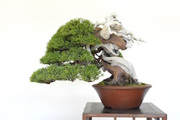 Shohin Juniper, photo by Bjorn Bjorholm