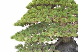 Japanese five needle pine, photo by Bjorn Bjorholm