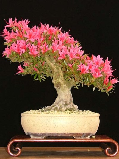 satsuki azalee rhododendron indicum korin bonsai empire. Black Bedroom Furniture Sets. Home Design Ideas