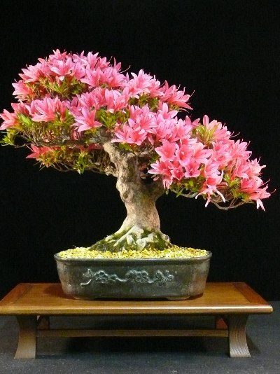 The final result; azalea bonsai