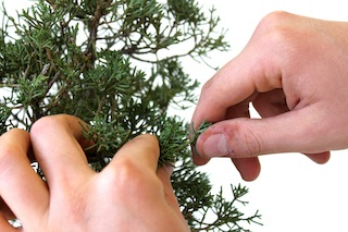 Pinch a bonsai correctly