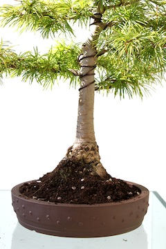 Repot bonsai cover with soil