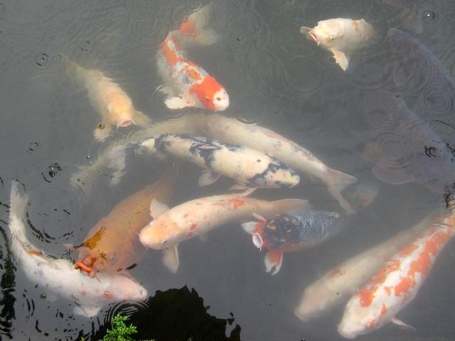 Japanese koi bonsai empire for How much is a koi fish
