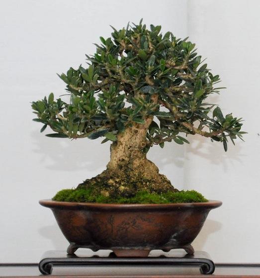olive olea europaea bonsai empire. Black Bedroom Furniture Sets. Home Design Ideas