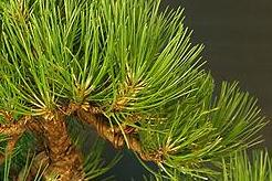 Black pine Pinus Bonsai