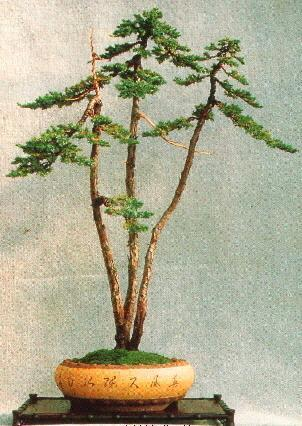 The Juniper trained and styled as Literati Bonsai