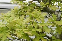 Oak bonsai tree quercus