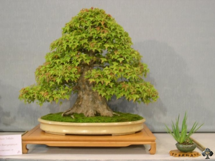 Acer buergerianum trident maple Bonsai