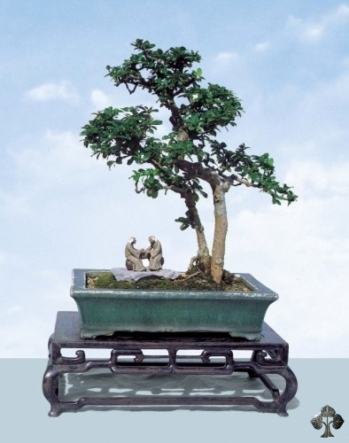 Fukien tea carmona bonsai tree