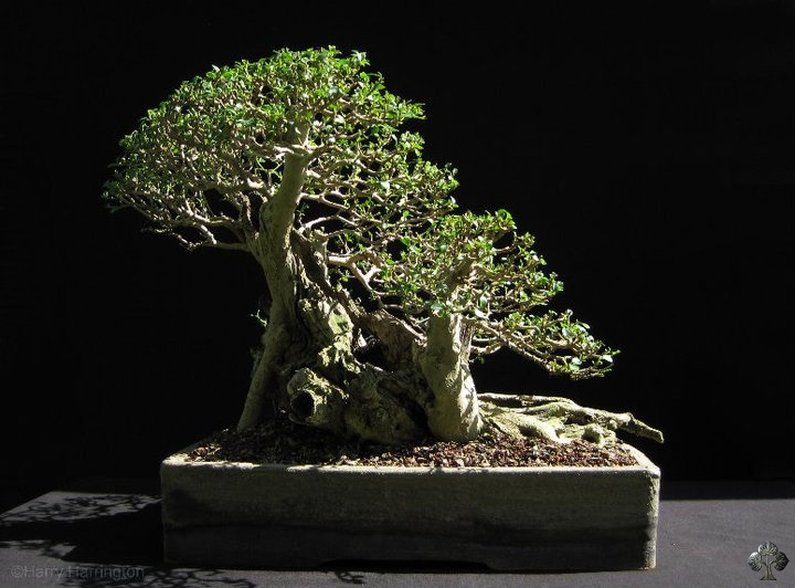 ligustrum privet bonsai empire. Black Bedroom Furniture Sets. Home Design Ideas