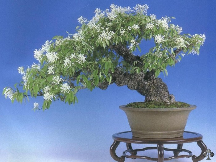 Magnolia stellata bonsai tree