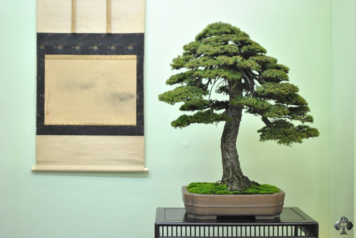 Picea, Spruce Bonsai tree