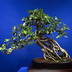 Ficus article