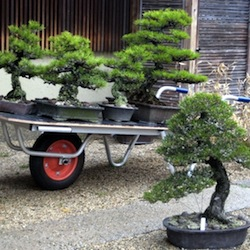 Kinashi bonsai