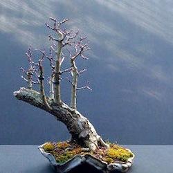 Hawthorn Raft Style Bonsai Tree Bonsai Empire