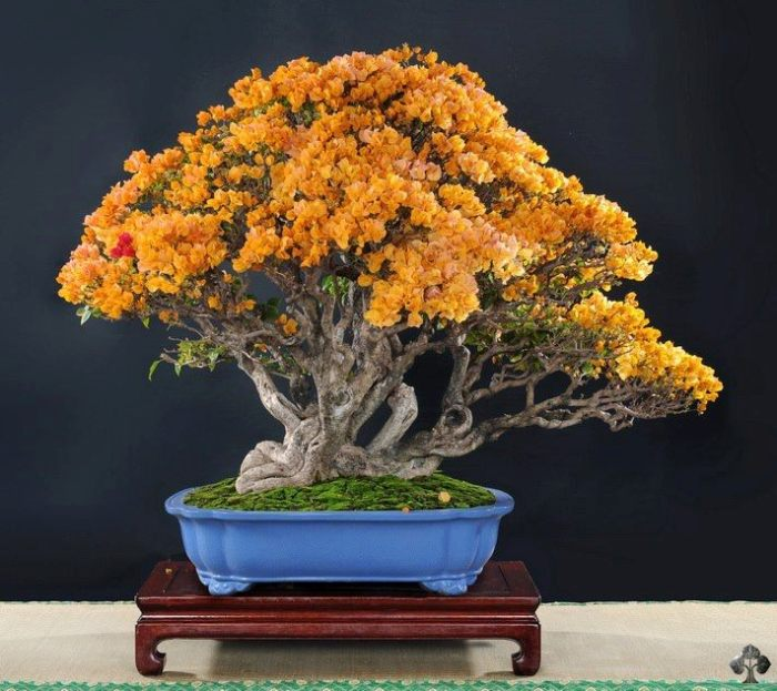Orange flowers on bonsai