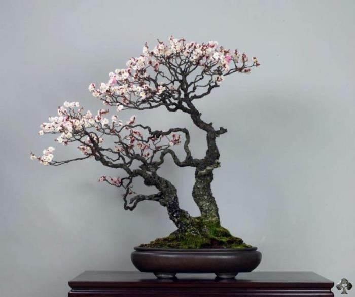 Prunus Mume bonsai tree
