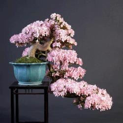 top10 flowering bonsai