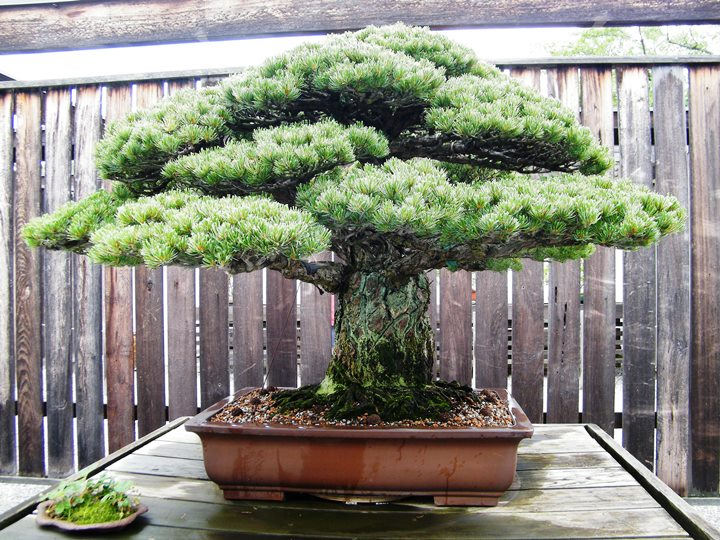bonsai tree that survived hiroshima bought bonsai tree
