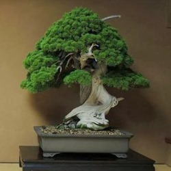 Oldest Bonsai trees