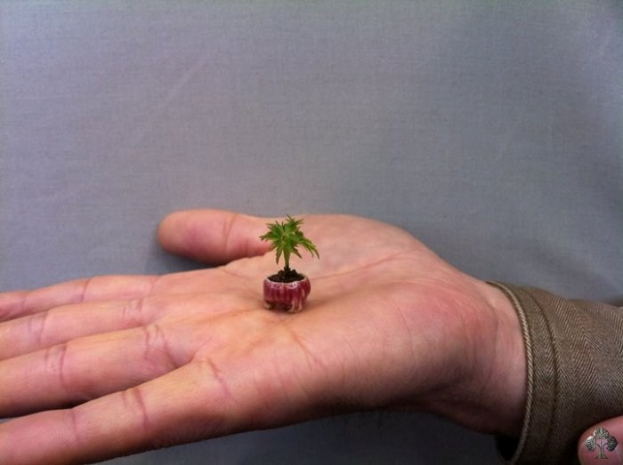 The smallest Bonsai tree (mini Bonsai)