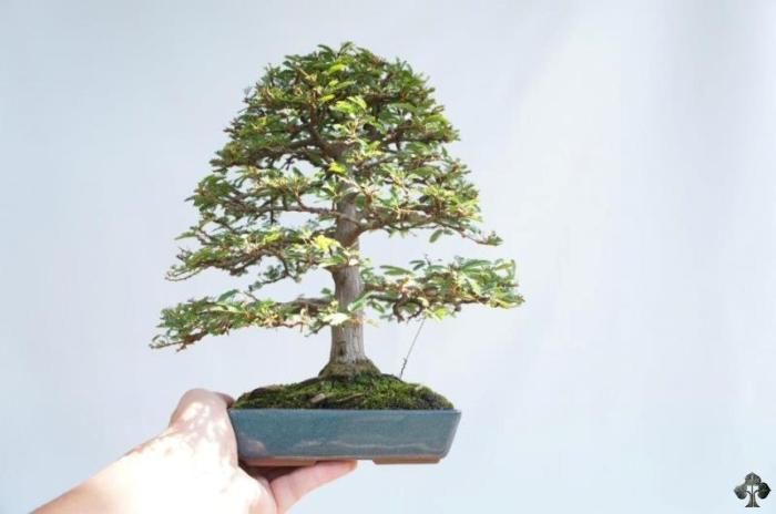 Shohin tree, most likely an ulmus parviflora. by: christian de ross