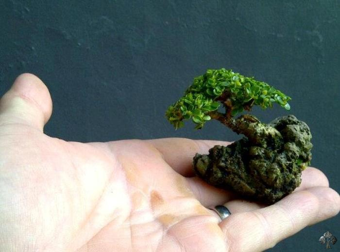 top 10 smallest bonsai trees bonsai empire. Black Bedroom Furniture Sets. Home Design Ideas