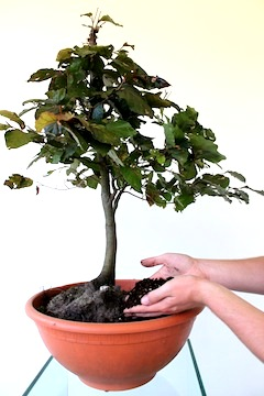 Bonsai propagation by collecting trees from forests