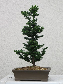 Bonsai at 4 years old