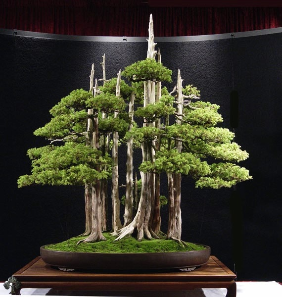 How to make bonsai trees look old