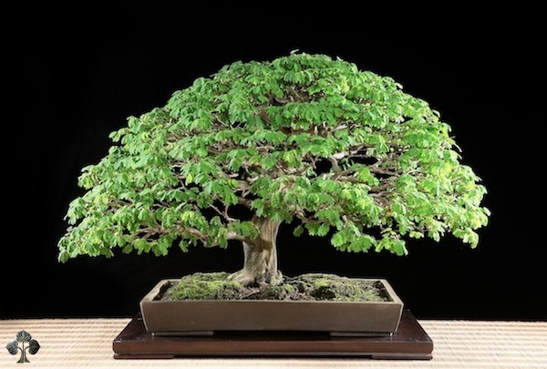 Pithecellobium, brazilian rain tree Bonsai
