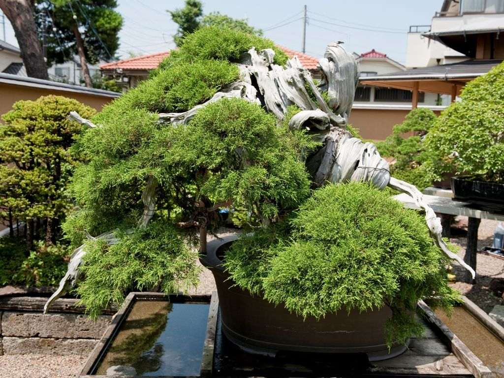 Top 5: Oldest Bonsai trees - Bonsai Empire