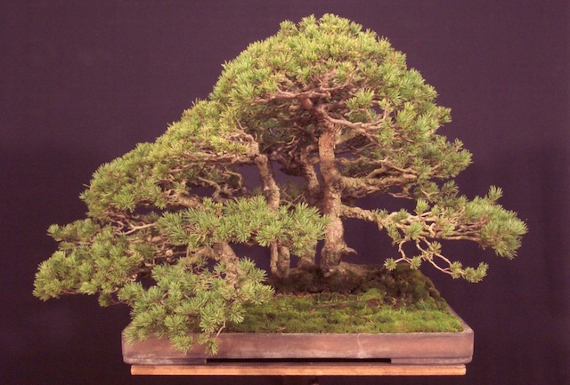 The Pinus sylvestris