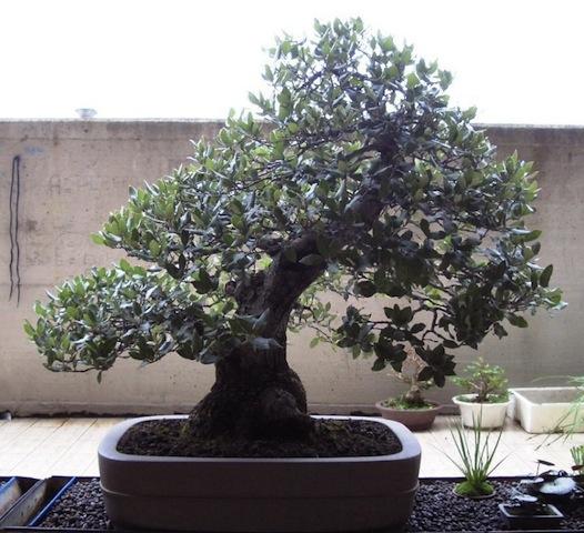 quercus ilex bonsai empire rh bonsaiempire com